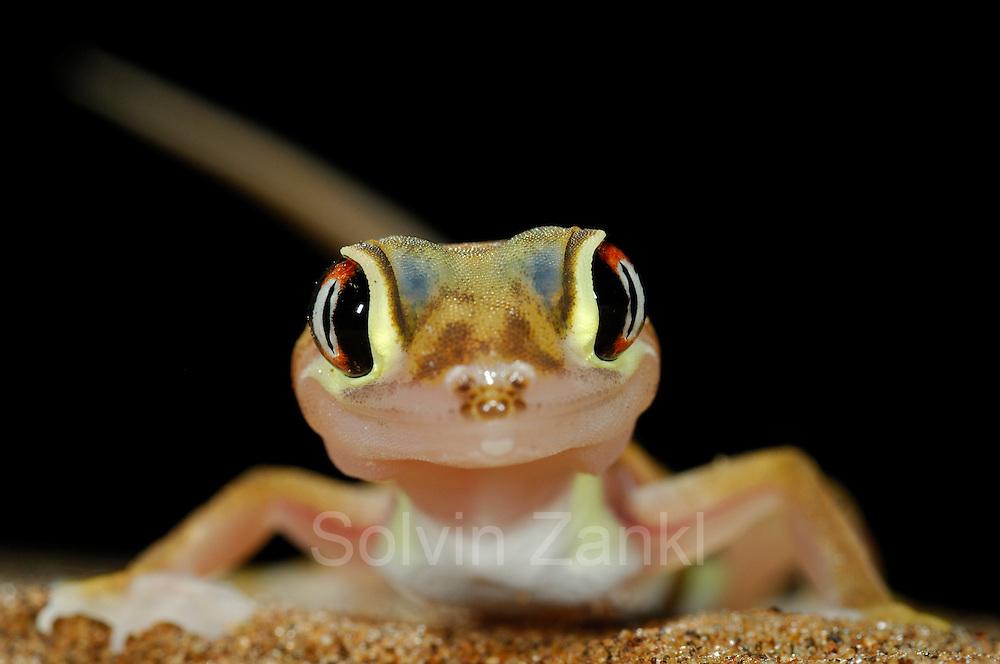 Der kleine (etwa 10-12 cm große) Wuestengecko (Palmatogecko rangei) erscheint nachts an der Oberfläche der Sanddünen der Namib Wüste, wo er auf Jagd nach z.B. Spinnen und Heuschrecken geht.  Sein zierlicher Körper ist blaß und erscheint fast durchsichtig. Die riesigen Augen ermöglichen das Auffinden der Beute im Dämmerlicht und die Schwimmhäute an den Füßen helfen nicht nur beim Laufen auf der lockeren Sandoberfläche, sondern dienen als Paddel beim Abtauchen in den Sand.   Web-footed gecko Gecko (Palmatogecko rangei) on sand dune in the Namib Desert