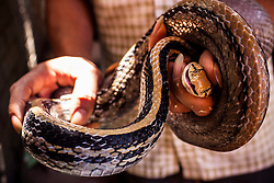 A restaurant owner in Le Mat Snake Village shows a lively snake, Hanoi, Vietnam, Southeast Asia