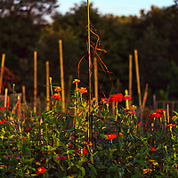 A sunlit row of mostly red Zinnia and other colorful flowers grows next to a wire fence in a garden.