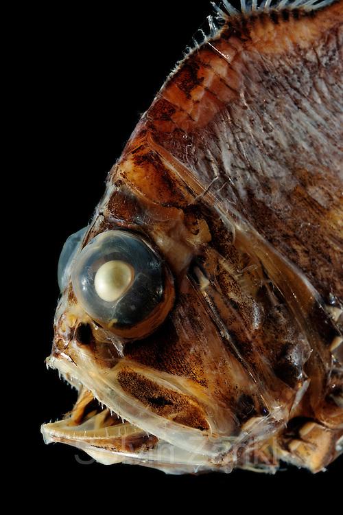 Silberpfeil.Pacific hatchet fish..Argyropelecus affinis..at 300-650 m..Beilfische ernähren sich von Plankton und wandern nachts in höhere .Wasserschichten. Mit ihren Teleskopaugen sind die besonders gut an .den Lichtmangel der die Tiefe angepasst..Auf der Unterseite haben sie eine Vielzahl von Leuchtorganen, die vor .allem nach unten strahlen. Beilfische leben in Tiefen, wo noch genug .Licht vorhanden ist, um von unten als dunkler Schatten erkannt zu .werden. Indem sie blaues Licht (480 nm) nach unten senden, füllen sie .diesen Schatten mit ihrem eigenen Licht auf. .Wenn sie tiefer tauchen würden, wäre ihr Licht wiederum zu hell .und sie wären für ihre Feinde leicht zu erkennen.