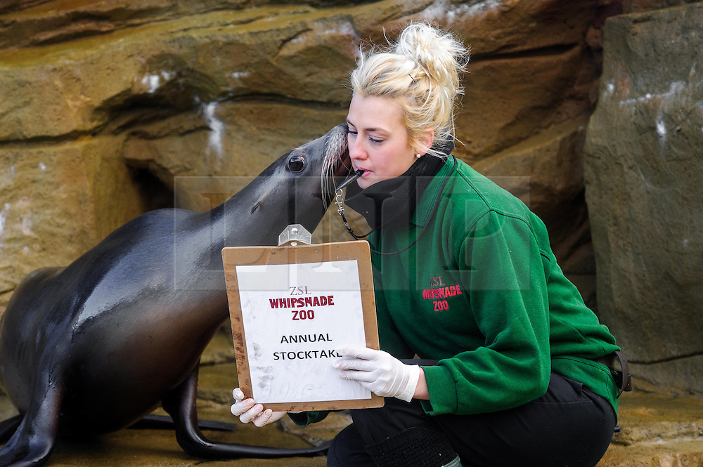 &copy; Licensed to simonjacobs.com. 07/01/2014 Whipsnade, UK.  Bailey the Californian sealion is counted by  keeper Jo Shirley during the annual stocktake at Whipsnade Zoo.<br /> Home to more than 2,500 animals zookeepers take stock of every invertebrate, bird, fish, mammal, reptile, and amphibian.<br /> The compulsory count is required as part of the zoo&rsquo;s license, the results are logged and the data is shared with zoos around the world to manage international breeding programmes. Photo credit : Simon Jacobs