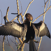 Anhinga drying its wings in Everglades National Park, FL.