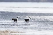 Anas superciliosa (Grey duck)