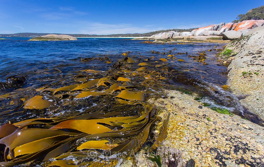 Giant Kelp (Macrocystis pyrifera ) exposed at low tide along the east coast of Tasmania, Australia