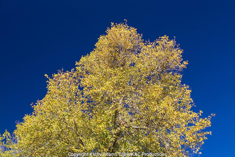 Rio Grande Cottonwood, Populus wislizeni, Big Bend National Park, Chihuahuan Desert, west Texas