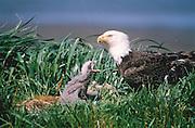 Alaska, Aleutian Islands. Ground-nesting Bald Eagle.