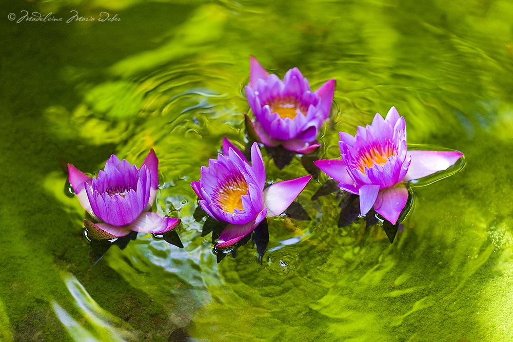 Lotus flower on reflecting pond / it001