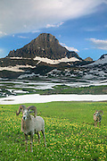 Two bighorn sheep (Ovis canadensis) feast on glacier lilies near Logan Pass in Glacier National Park, Montana. The yellow glacier lilies (Erythronium grandiflorum) are among the first wildflowers to bloom when the snow melts in mountain meadows.