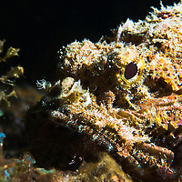Close-up Spotted Scorpionfish (Scorpaena plumieri), St. Lucia.