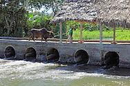 Man leading a bullock over a river in Granma Province, Cuba.