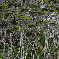 Typical humid and impenetrable structure of multilayered ever-green beech and winter's bark forest. Hoppner Bay. <br /> Administered as part of the Argentine province of Tierra Del Fuego, Staten Island has been off limits to tourism since 1923 when it was decreed a Natural reserve for Fur seals. This was the first time a foreign-flagged vessel in history sailed into the protected areas and around the Island.