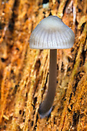 A single mycena mushroom growing in a rotting tree stump at Campbell Valley Park in Langley, British Columbia, Canada