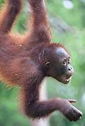 Young Bornean Orangutan, Pongo pygmaeus morio, Orang Utan Sanctuary Sepilok, Sabah, Borneo