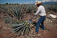 Jimador harveting the heart of the agave plants to be used for Tequila production, Tequlia, Mexico