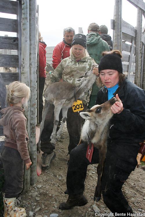 Kalvmerking, Saanti sijte, Skarpdalen, Tydal/Meråker. Reindeer herding. Sørsamisk reindrift i Saanti Sijte (Essand reinbeitedistrikt).