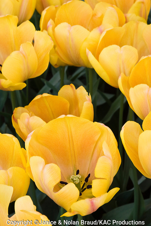Triumph Tulip, Tulipa 'ASAHI',  at Keukenhof Gardens in South Holland in The Netherlands.