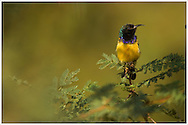 A colorful African sunbird perched on an acacia tree.