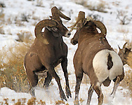 Once the battle begins, opposing rams charge towards one another at speeds exceeding twenty miles per hour.