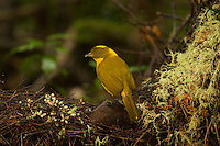 Golden Bowerbird (Prionodura newtoniana) male at his bower, which is a large stick structure decorated with lichens and flowers..Rain forest of the Paluma Range National Park..Queensland, Australia.