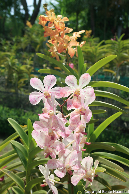 Bali Orchid Garden is committed to preserving the orchid species of Indonesia. They also have orchids from other countries. Also different tropical plants from Cordylines, Bromeliads, Heliconia, Aroids, Pitcher plants (nepenthes) and others from Indonesia and abroad.  Orchids range from showy cattleya and vanda hybrids to a large range of indonesian species.