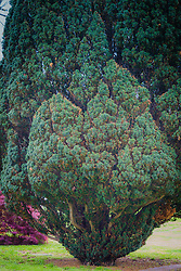 Cedar tree in Southampton, NY