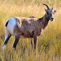 Female Ewe Bighorn Sheep in Protective Stance at Black Hills, South Dakota<br /> The Autobahn bighorn sheep in the South Dakota Black Hills were hunted to extinction in the early 1900s. Staring in the 1960s, the Rocky Mountain bighorn was introduced to Custer State Park. Now herds are roaming wild again. This female ewe took a protective stance over the nearby flock of juveniles and lambs. There was no ram present with their distinctive curled horns.