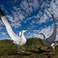 Antarctica, South Georgia Island (UK), Courtship display of Wandering Albatross (Diomedea exulans) on Prion Island