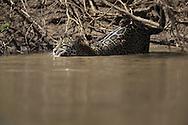 Jaguar (Panthera onca) with Capybara kill, Pantanal, Brazil