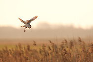 Barn Owl (Tyto Alba) adult hunting alongside reed bed, Norfolk Broads N.P, UK.