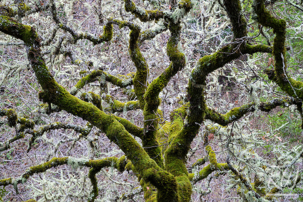 Gnarled Oak Tree Branches at Cascade Canyon Open Space Preserve, Fairfax, California