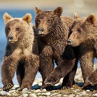 USA, Alaska, Katmai National Park, Grizzly Bear Cubs (Ursus arctos) walking together along salmon stream by Kukak Bay