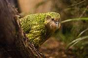 Kakapo, critically endangered, New Zealand