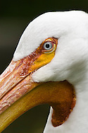 The American White Pelican, Pelecanus erythrorhynchos, is a large aquatic bird in the order Pelecaniformes. It breeds in interior North America, moving south as far as Central America, in winter.