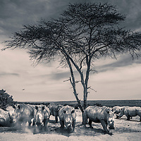 Southern white rhinos gather under a tree, with Mount Kenya visible on the skyline in Solio, Laikipia, Kenya