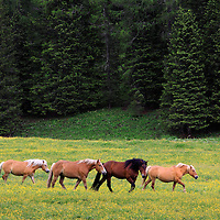 Wild horses in the fields surrounding the Lake of Misurina, in the Dolomiti d'Ampezzo area. Many wildlife species live in the area of the Dolomites, such as deers, chamoises and ibexes, foxes, wolves and brown bears.