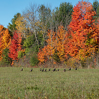 http://Duncan.co/wild-turkeys-and-fall-color