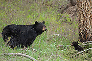 Weighing only five pounds when they leave the den, black bear cubs remain under their mother's watchful eye for the first two years of their life.  During that time, the mother bear is extremely protective of her young and if necessary will battle predators to keep them safe.
