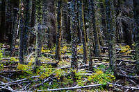 An old forest near Black Lake, New Mexico.