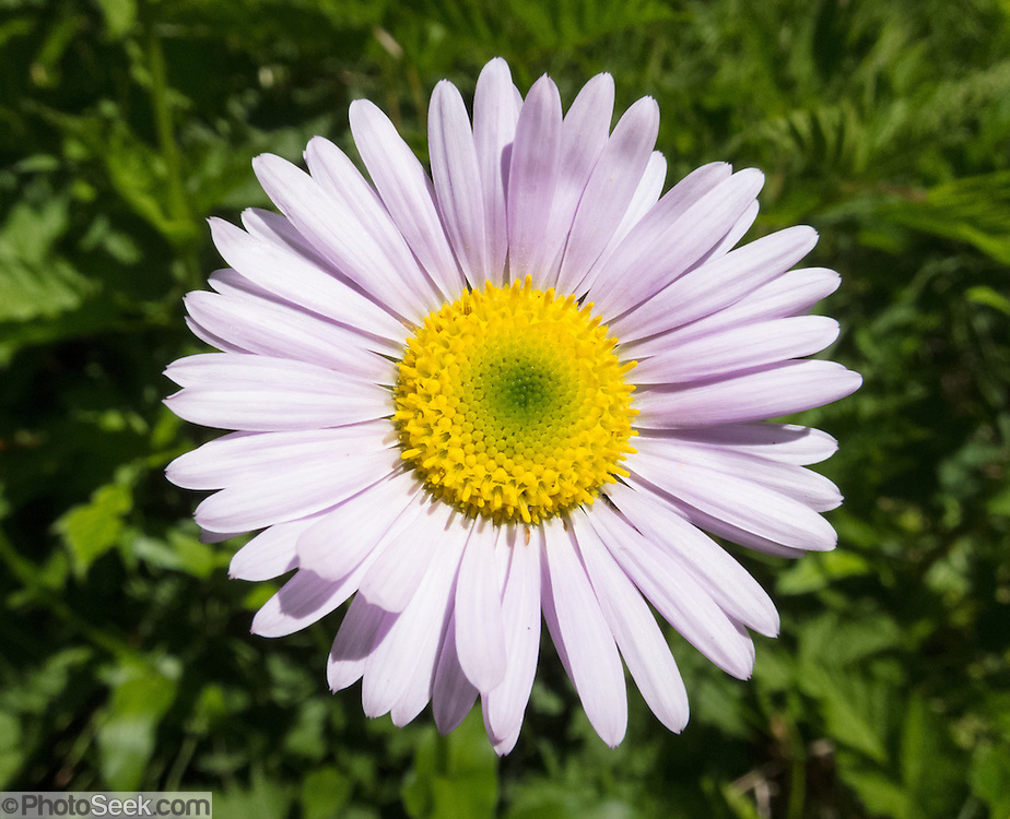 aster flower  flower, Beautiful flower