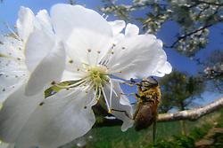 Drone fly (Eristalis spec.)   Bienenschwebfliege (Eristalis spec.) auf Kirschbaumblüte. Warnau, Deutschland