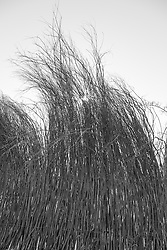 dried willow fence