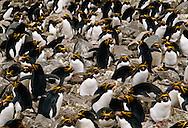 Macaroni penguin colony, Eudyptes chrysolophus, South Georgia Island