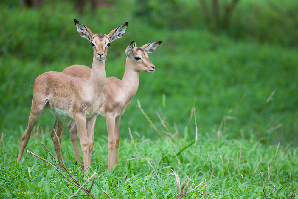 Baby impala. Punda Maria. Kruger National Park. South Africa. Organization for Tropical Studies Trip 2009.