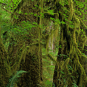 A rainy day in the rain forest. Quinnalt Forest in Olympic National Park, WA.
