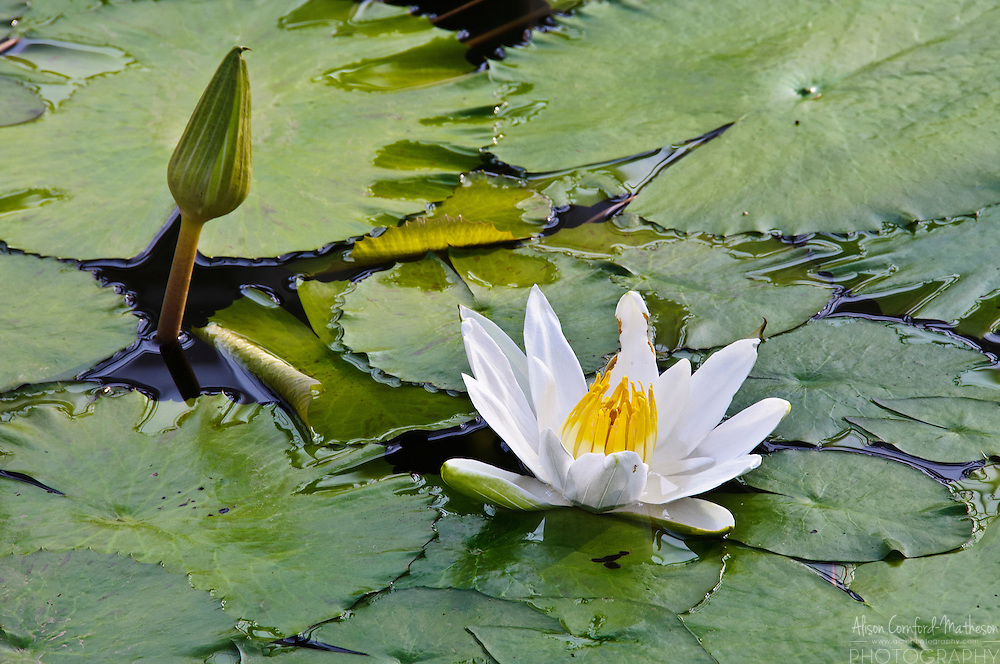 Nymphaea Egyptian White Lotus Waterlily in bloom at the National Botanical Garden of Belgium, in Meise.