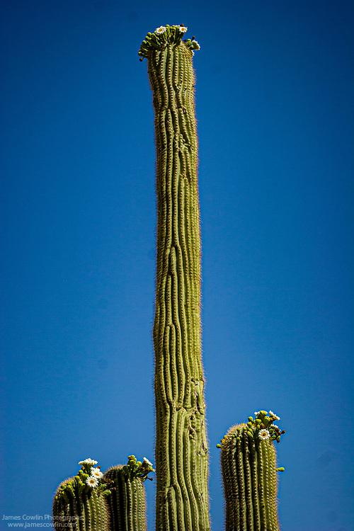 Flowers of the saguaro cactus in Saguaro National Park, Arizona