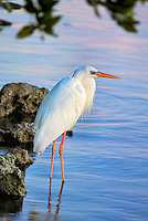 The Great White Heron is an all white Great Blue Heron that was once thought to be a separate species.