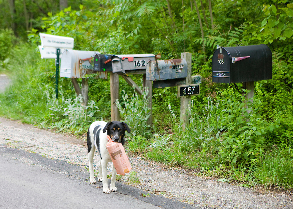 A dog retrieves and carries a morning newspaper to his owner on Needles Road near Old Rag Mountain, Shenandoah National Park, Madison County, Virginia, May 2008