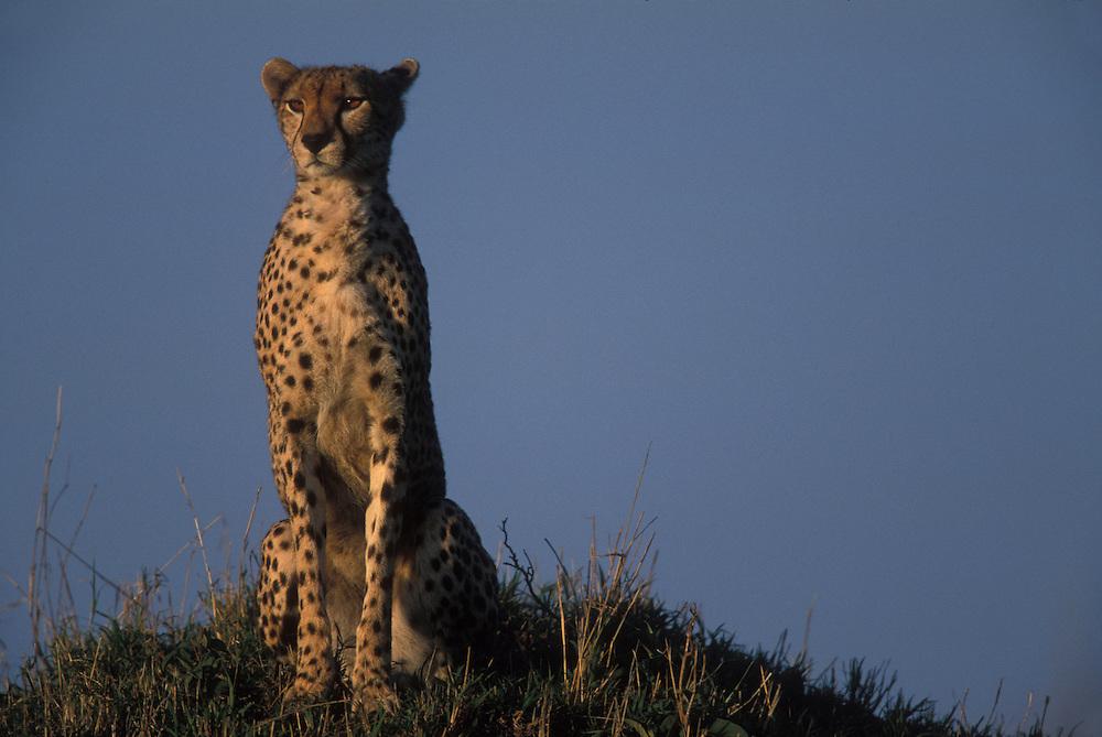 Kenya, Masai Mara Game Reserve, Adult Female Cheetah (Acinonyx jubatas) sitting on low mound surveying surrounding savanna