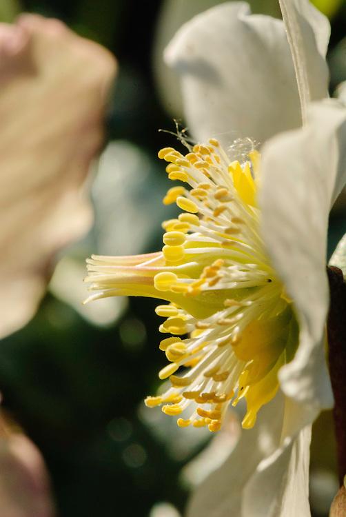 Kerstroos, Helleborus niger